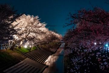 α7を持って夜のお花見(2日連続)
