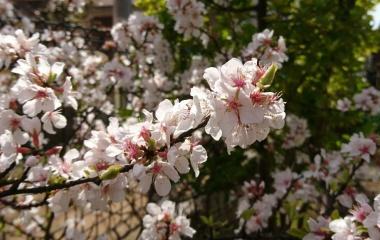 『山桜桃梅』の画像