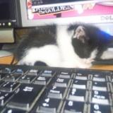 パソコン作業を邪魔するハナ(子猫時代)の写真