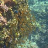 『日本のサンゴだって美しい!関東から一番近いサンゴ礁』の画像