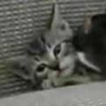 子ネコを「毛づくろい」する小さなママ。キレイにしましょうね♪ → ネズミのお母さんはこんな感じ…