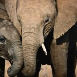 『保護区から大量に消えたゾウたち』の画像