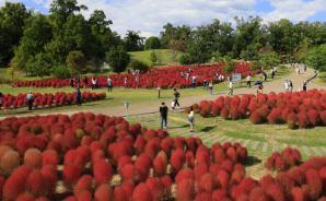 奈良の公園でコキアが紅葉最盛期