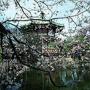 『中国、東京でサクラの起源主張『武漢は桜の故郷』CM放映…中国の有識者憤慨「低レベルな世界的恥さらしだ!」』の画像
