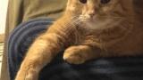ワイの茶トラ猫を自慢するスレ(※画像あり)