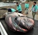 メガマウスザメ、沼津・牛臥海岸に打ち上げ 体長約4メートル 冷凍保存後解剖、はく製に