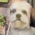 犬がガラス越しにトリミングされていた。このサロンは最高ですよ♪ → 犬の顔はこうなります…