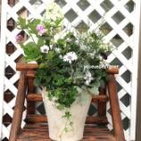 『カシワバ紫陽花とライスフラワーの白い寄せ植えで蒸れないようにたくさん植える苗選び方法♪』の画像