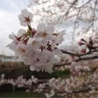 『桜2014☆川沿いの風景』の画像