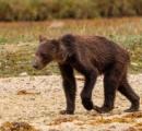 やせ衰えたクマの写真に懸念の声、餌のサケが激減