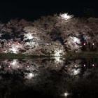 『上越髙田城址公園の夜桜』の画像
