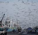 北海道のカモメが肥満状態に「イワシうめえwww満腹すぎて飛べねえwww」