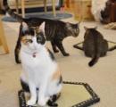 「猫ホイホイ畳」販売 これはあざとい 可愛いけどあざとい