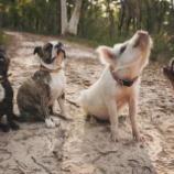 『犬として育った豚』の画像