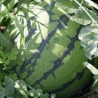 『中庭のスイカ収穫しました!』の画像