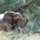 『頭を撃たれたゾウが助けを求める』の画像