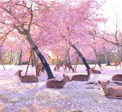ジブリ?桃源郷?今年の奈良公園の桜と鹿のコントラストはこんなにも美しかった
