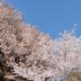 金比羅池の桜