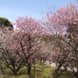 『【縮景園】の梅が見頃を迎えています!』の画像