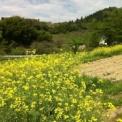 菜の花、咲いたよ~!福島県 菜の花プロジェクト & 福島県 無料レイキ・アチューメント・イベント