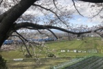 新古今和歌集にも登場する交野の桜。3月下旬の開花状況はこんな感じ!