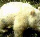 中国で白い野生パンダを初撮影