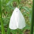 【画像】今の時期、モンシロチョウが飛んでるって思うのは、それ間違いなく毒蛾です。 #昆虫 #蝶