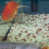 『自分の部屋の写真_「水槽の中の金魚_(らんちゅう)」』の画像