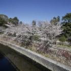 『哲学堂公園の桜情報 2020/03/27』の画像