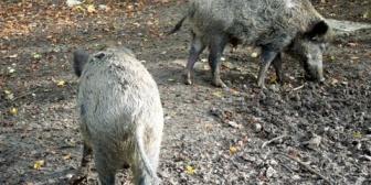【修羅場】近所のお婆さんが野生のイノシシ10匹程度に糠を与えてるのが発覚。→獣害が酷いから獣に餌を与えるのを辞めてくれるようにお願いに行った。→すると…