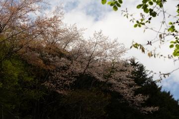 行者還の桜