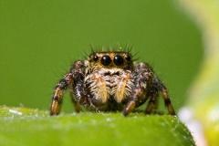 ※画像あり閲覧注意【クモ】脳が大きすぎて一部が身体の隙間にあふれ出している事が判明