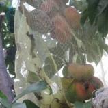 『2019年、 バン桃 「フェルジャル」収穫』の画像