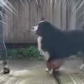 【イヌ】 庭にマットを敷いてお姉さんがトレーニングを始める → 無理ゲーでした…