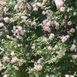『ガーデニング日和! 庭のバラもたくさん咲いています!!』の画像