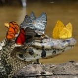 『綺麗な蝶に囲まれるカイマン』の画像