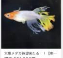 【画像】28万円のめだか、ガチで美しい