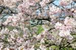 桜のトンネルを走る京阪電車。私市4丁目~交野まちなみ日記No.51~