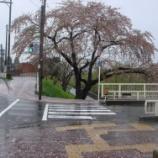 『わが家の桜08-16』の画像