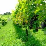 『【募集】2019年 VinVie初のブドウ収穫作業 ランチボックス&シードル付き』の画像