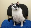 英国で最も太ったネコが保護され、強制ダイエットされる