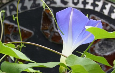 『ヘブンリー・ブルー』の画像