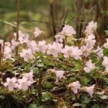 『春の花咲く花瓶山』の画像
