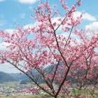 『山桜の見物に』の画像