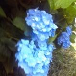 『紫陽花の季節』の画像