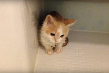 お風呂おとなしく入れました!えらい。マンチカンの子猫