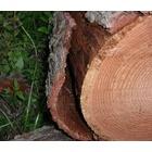 『樹皮下の構造』の画像