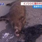 【長崎】 海からイノシシ襲撃、50代の男性釣り客が素手で返り討ちに