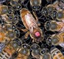 凶暴過ぎる殺人ミツバチ「キラービー」が米国で勢力拡大 日本人「可愛い。超ザコ。スズメバチ最強」