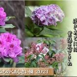 『梅→桜→石楠花→カルミア→紫陽花』の画像